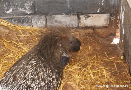 Stachelschwein im Gehege