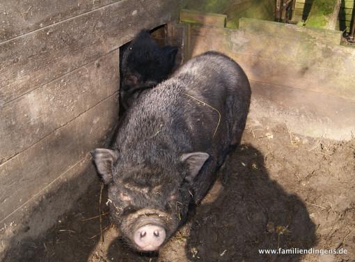 Senioren: Die Schweine im Tiergarten